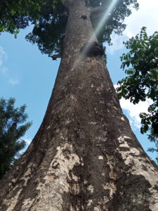 Mutunguru: the tallest tree in Kenya and probably the second tallest native tree in Africa